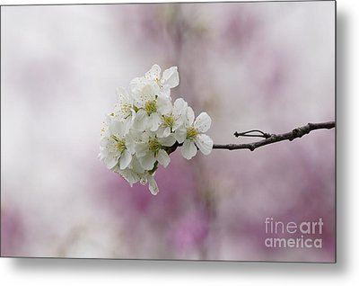 Cherry Blossoms - Out On A Limb Metal Print by Robert E Alter Reflections of Infinity