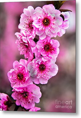 Cherry Blossoms Metal Print by Robert Bales