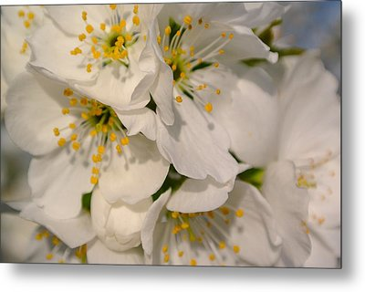 Cherry Blossoms  Metal Print by Tamara Bettencourt