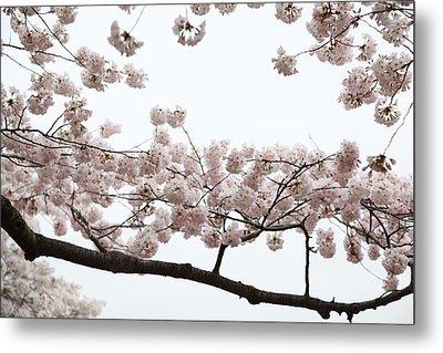 Cherry Blossoms - Washington Dc - 0113103 Metal Print by DC Photographer