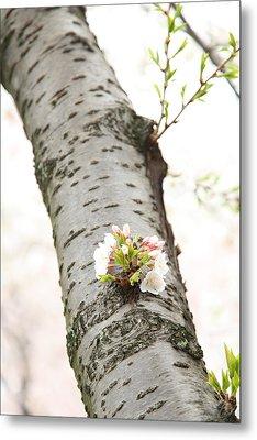 Cherry Blossoms - Washington Dc - 0113106 Metal Print by DC Photographer