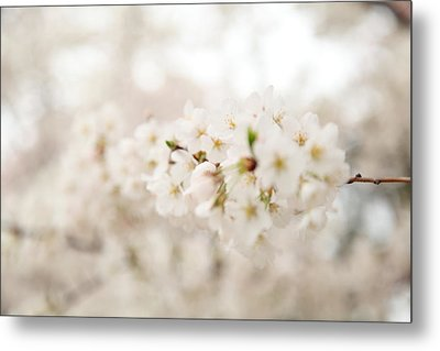 Cherry Blossoms - Washington Dc - 0113109 Metal Print