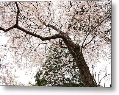 Cherry Blossoms - Washington Dc - 0113115 Metal Print by DC Photographer
