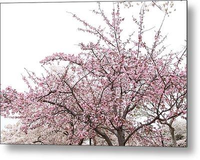 Cherry Blossoms - Washington Dc - 0113123 Metal Print by DC Photographer