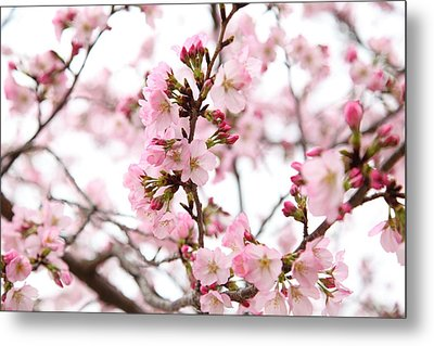 Cherry Blossoms - Washington Dc - 0113124 Metal Print by DC Photographer