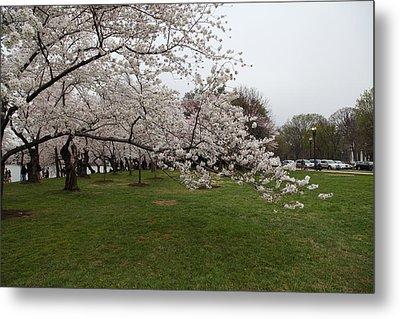 Cherry Blossoms - Washington Dc - 0113130 Metal Print by DC Photographer