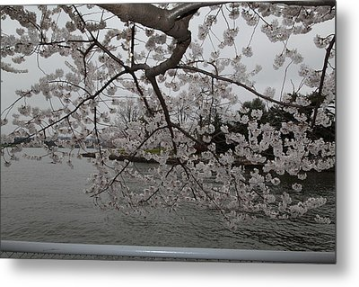 Cherry Blossoms - Washington Dc - 0113134 Metal Print by DC Photographer