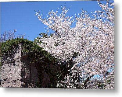 Cherry Blossoms - Washington Dc - 01133 Metal Print