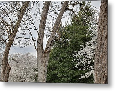 Cherry Blossoms - Washington Dc - 011353 Metal Print by DC Photographer