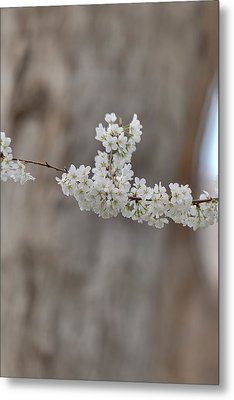 Cherry Blossoms - Washington Dc - 011355 Metal Print by DC Photographer