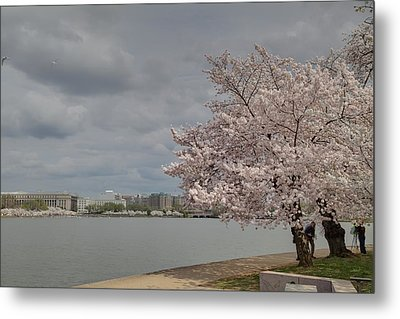 Cherry Blossoms - Washington Dc - 011362 Metal Print by DC Photographer