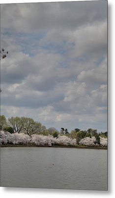 Cherry Blossoms - Washington Dc - 011365 Metal Print by DC Photographer