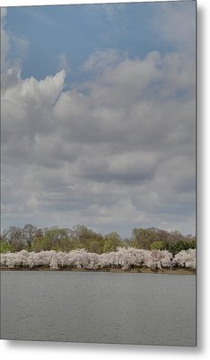 Cherry Blossoms - Washington Dc - 011368 Metal Print by DC Photographer