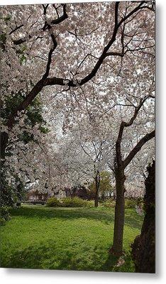 Cherry Blossoms - Washington Dc - 011369 Metal Print by DC Photographer