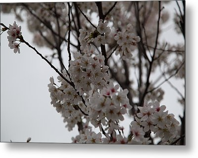Cherry Blossoms - Washington Dc - 011393 Metal Print by DC Photographer