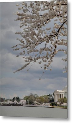 Cherry Blossoms With Jefferson Memorial - Washington Dc - 011312 Metal Print by DC Photographer