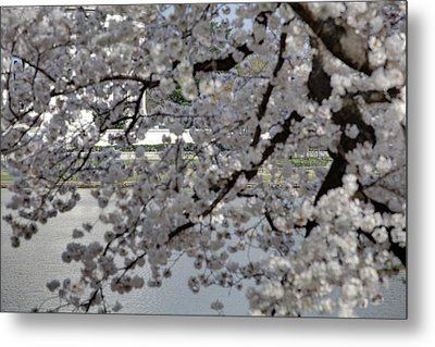 Cherry Blossoms With Jefferson Memorial - Washington Dc - 011338 Metal Print by DC Photographer