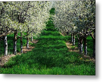 Cherry Orchard Morning Metal Print by Mary Lee Dereske