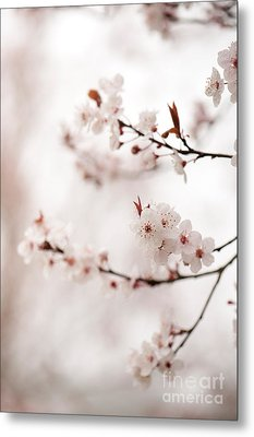 Cherry Plum Blossom Metal Print by Anne Gilbert