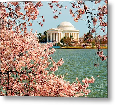 Cherry Trees At The Jefferson Metal Print by Nick Zelinsky
