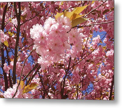 Cherry Trees Blossom Metal Print