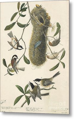 Chestnut-backed Chickadee Metal Print by Celestial Images