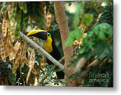 Chestnut-mandibled Toucan Metal Print by Art Wolfe