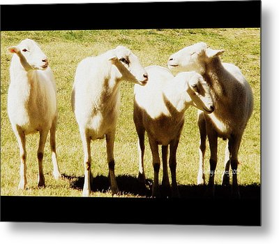 Metal Print featuring the photograph Cheviot Sheep by Kathy Barney