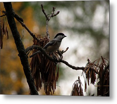 Chickadee In A Tree Metal Print