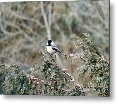 Metal Print featuring the photograph Chickadee In Cedar by Brenda Brown