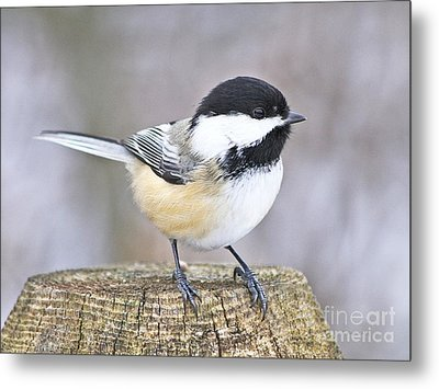 Metal Print featuring the photograph Chickadee On A Used To Be Tree by Heather King