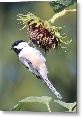Chickadee On Sunflower Metal Print