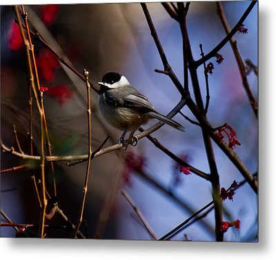 Chickadee Metal Print by Robert L Jackson