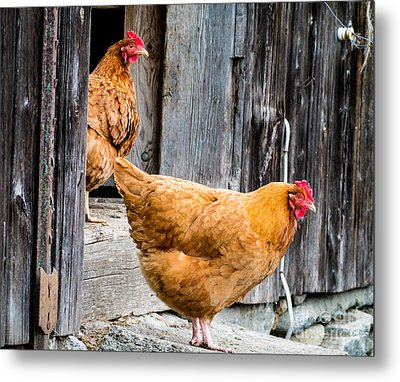 Chickens At The Barn Metal Print by Edward Fielding