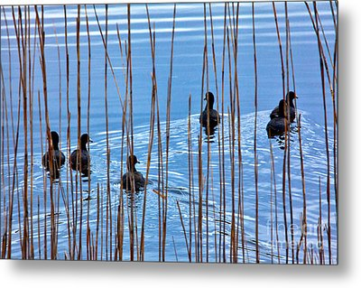 Chicks In Water With Reeds On The Outer Banks I Metal Print by Dan Carmichael