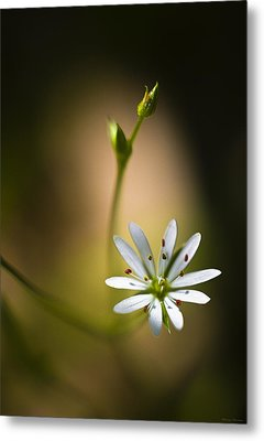 Chickweed Blossom And Bud Metal Print by Marty Saccone
