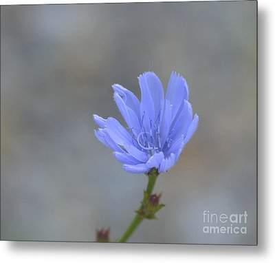 Chicory Metal Print by Randy Bodkins