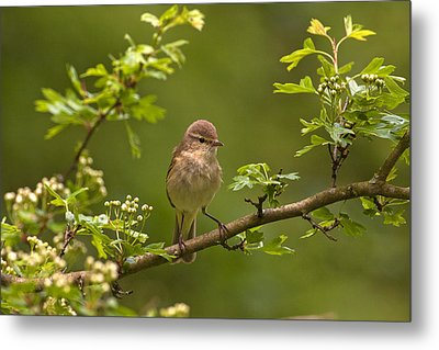 Chiffchaff Metal Print by Paul Scoullar