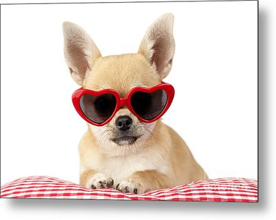 Chihuahua In Heart Sunglasses Dp813 Metal Print