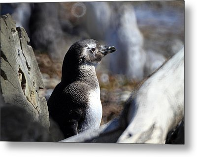 Chilean Penguin Metal Print