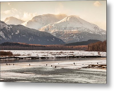 Chilkat Bald Eagle Preserve In Winter Metal Print by Michele Cornelius