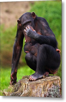 Chimp With A Baby On Her Belly  Metal Print