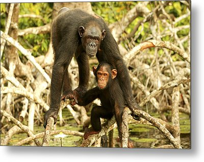 Chimpanzee Adult With Young Metal Print