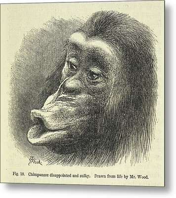 Chimpanzee Disappointed And Sulky Metal Print