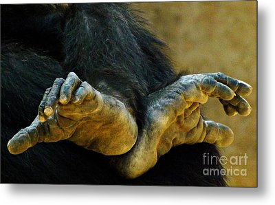 Metal Print featuring the photograph Chimpanzee Feet by Clare Bevan