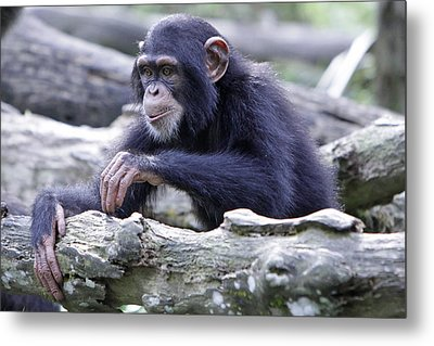 Chimpanzee Playing Metal Print by Shoal Hollingsworth