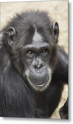 Chimpanzee Portrait Ol Pejeta Metal Print by Hiroya Minakuchi
