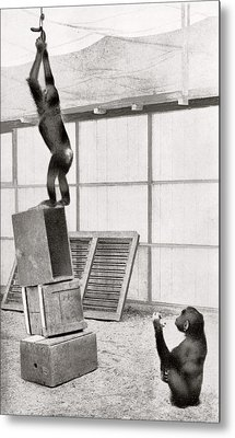 Chimpanzee Research Metal Print by American Philosophical Society