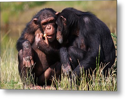 Metal Print featuring the photograph Chimpanzees Eating A Carrot by Nick  Biemans
