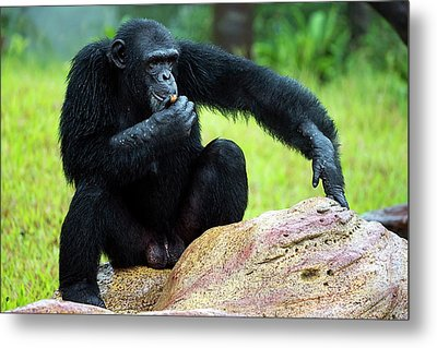 Chimpanzees Metal Print by Pan Xunbin